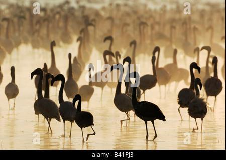 Greater Flamingo Phoenicopterus roseus and Lesser Flamingo large group at sunrise Lake Nakuru Kenya Africa - Stock Photo