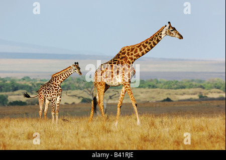 Masai Giraffe Giraffa camelopardalis tippelskirchi female with young Masai Mara Kenya Africa - Stock Photo