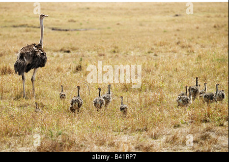 Ostrich Struthio camelus mother with young Masai Mara Kenya Africa - Stock Photo