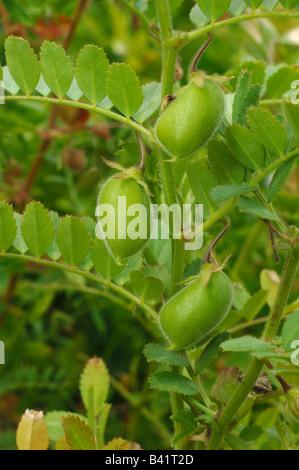 Chick Pea, Chickpea (Cicer arietinum) seedpods - Stock Photo