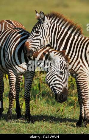 Plains Zebras Equus quagga pair Lake Nakuru Kenya Africa - Stock Photo