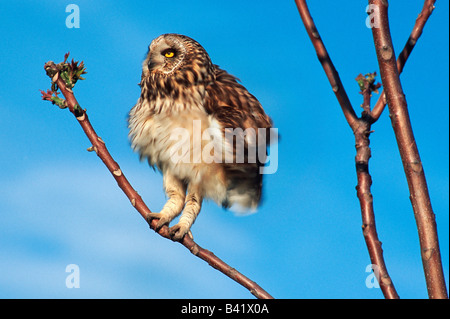 Short-eared Owl Asio flammeus adult perched Austria - Stock Photo