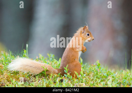 Red squirrel Sciurus vulgaris storing food on forest floor in Caledonian Scots pine forest - Stock Photo