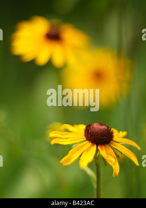 Black Eyed Susans in a Prairie Garden - Stock Photo