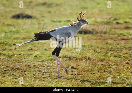 Secretary Bird Sagittarius serpentarius adult walking Masai Mara Kenya Africa - Stock Photo