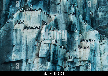 Thick-billed Murre Uria lomvia breeding colonie in cliff Hinlopen Strait Svalbard Spitsbergen Norway Arctic - Stock Photo