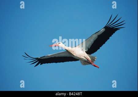 White Stork Ciconia ciconia adult in flight Switzerland - Stock Photo