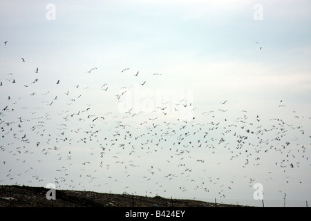 A flock of Seagulls flying over a landfill in Wisconsin - Stock Photo