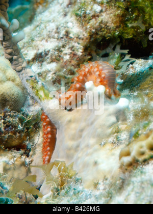 Bearded Fireworm crawling on the surface of a coral covered with growing algae - Stock Photo