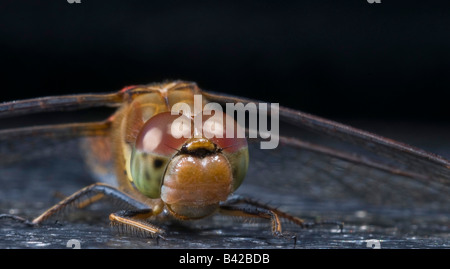 Dragonfly Common Darter Sympetrum striolatum resting on bench in nature reserve:Lancashire. - Stock Photo