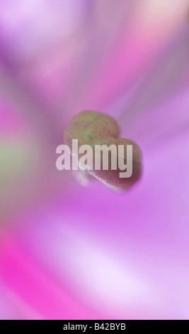 Epilobium angustifolium syn. Chamerion angustifolium, Chamaenerion angustifolium, Other names: Blooming Sally, Fireweed, - Stock Photo