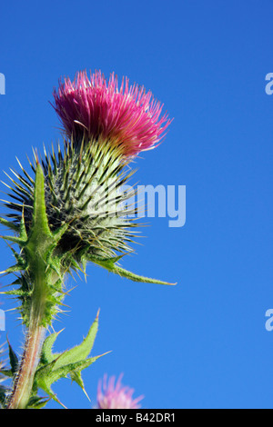 Thistle flower against blue sky close up - Stock Photo