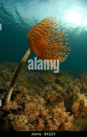 Spirographis Fan Worm Spirographis spallanzani Piran Adriatic Sea Slovenia - Stock Photo
