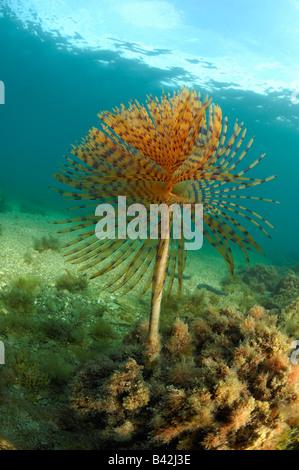 Spirographis Fan Worm Spirographis spallanzani Piran Adriatic Sea Slovenia - Stock Photo