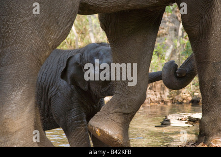 Mother and baby Indian elephant play together, trunks wrapped, after being bathed by their Mahout in Kanha Park - Stock Photo