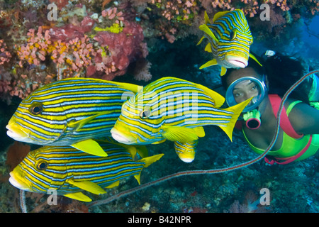 Yellow Ribbon Sweetlips and Diver Plectorhinchus polytaenia Komodo Lesser Sunda Islands Flores Sea Indonesia - Stock Photo