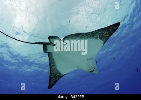 Eagle Rays Aetobatus narinari Pacific Ocean Saipan Northern Mariana Islands CNMI - Stock Photo