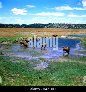 geography / travel, USA, Nebraska, Fort Niobrara Wildlife Refuge near Valentine, buffalo at water hole, landscape, - Stock Photo