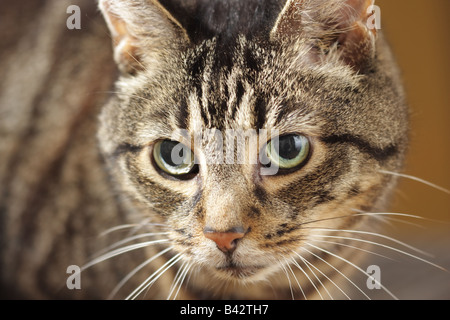 Close up of face of an adult male Mackerel Tabby cat - Stock Photo