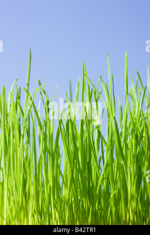 Grass, low angle against blue sky.