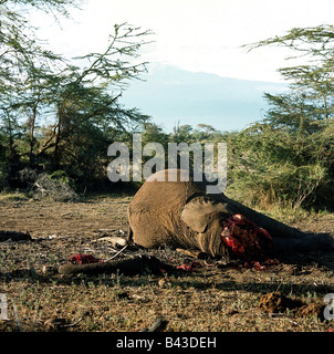 zoology / animals, mammal / mammalian, Elephantidae, African Bush Elephant (Loxodonta africana), dead elephant, - Stock Photo