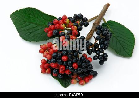 Wayfaring Tree, Hoarwithy Twistwood Meal Tree (Viburnum lantana) berries studio picture - Stock Photo