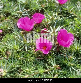 Moss-rose Purslane / Portulaca grandiflora - Stock Photo