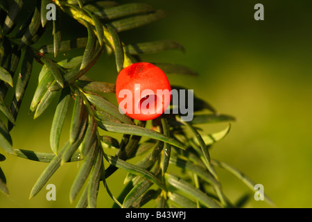 Yew tree Taxus baccata berry autumn Midlands UK - Stock Photo