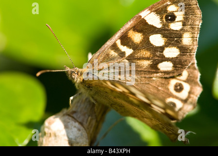 Speckled Wood Butterfly (Pararge aegeria). - Stock Photo