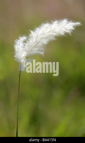 White Feathery Grass Seed Head, Mexico - Stock Photo