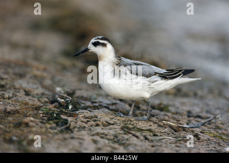 Grey Phalarope Phalaropus fulicaria winter plumage Midlands UK - Stock Photo