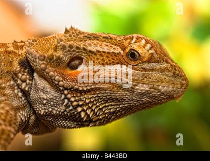 Portrait of a bearded dragon - Stock Photo