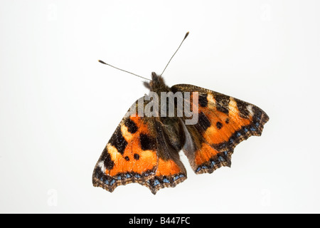 Small Tortoiseshell Butterfly  Aglias urticae - Stock Photo