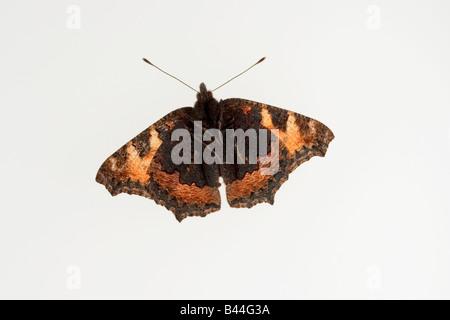 Small Tortoiseshell Butterfly underside Aglias urticae - Stock Photo