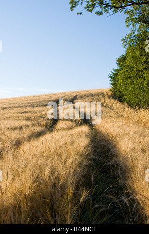 Field of wheat in Umbria, Italy, Europe - Stock Photo