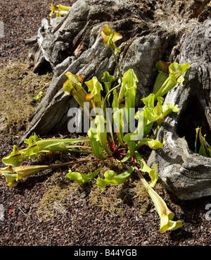 Purple Pitcher Plant or Side Saddle Flower, Sarracenia purpurea subsp. purpurea, Sarraceniaceae, North East USA - Stock Photo