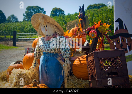 Halloween thanksgiving scarecrow sitting on a hay bail with pumpkins in farm - Stock Photo
