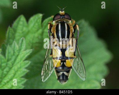 Hoverfly, Helophilus, trivittatus on leaf cleaning its self . - Stock Photo