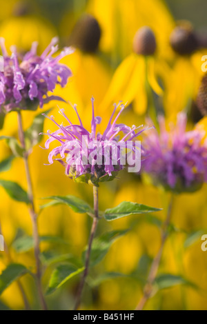 wild bergamot (Monarda fistulosa), yellow coneflower in background, The Prairie Enthusiast's Schurch-Thomson Prairie, - Stock Photo