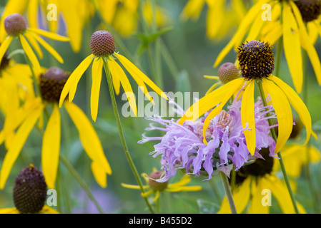 wild bergamot and yellow coneflower, The Prairie Enthusiast's Schurch-Thomson Prairie, Iowa County, Wisconsin - Stock Photo