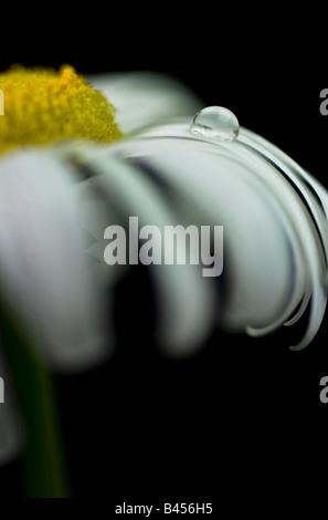 Compositae: Black-eyed Susan; Yellow or Daisy; - Stock Photo