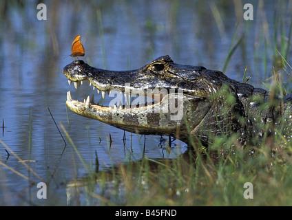 zoology / animals, reptiles, crocodiles, Spectacled caiman, (Caiman crocodilus yacare), with flambeau, Pantanal, - Stock Photo
