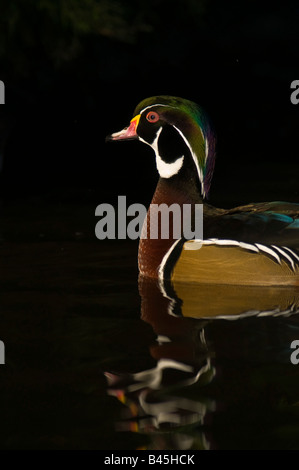 Mandarin Duck Aix galericulata swimmingby the  edge of a rocky pool:Lancashire - Stock Photo