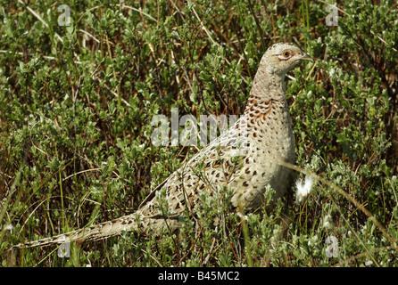 zoology / animals, avian / bird, Phasianidae, Common Pheasant (Phasianus colchicus), female animal in meadow, Amrum, - Stock Photo