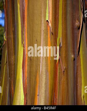 Eucalyptus deglupta (Rainbow Eucalyptus), Mindanao Gum - Stock Photo