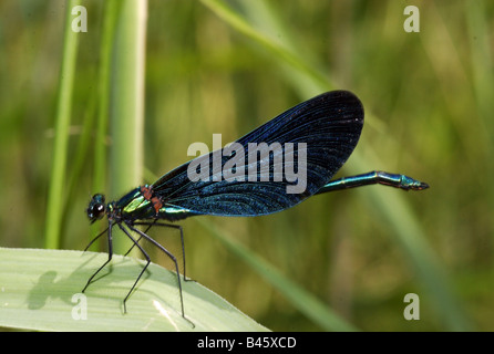 zoology / animals, insect, dragonfly, Beautiful Demoiselle, (Calopteryx virgo), male on leaf, distribution: Europe, - Stock Photo