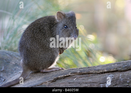 Long nosed potoroo standing on a log - Stock Photo