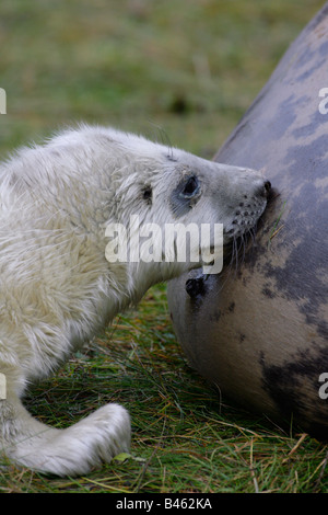 Grey Seal Halichoerus grypus single pup suckling from mother Taken November North Lincolnshire UK - Stock Photo