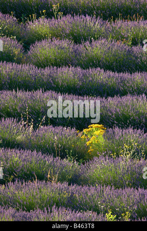 rows of lavender in a field near St-Saturnin-les-Apt, the Vaucluse, Provence, France - Stock Photo