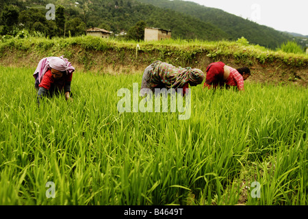 Women working in the rice paddy, Nepal - Stock Photo